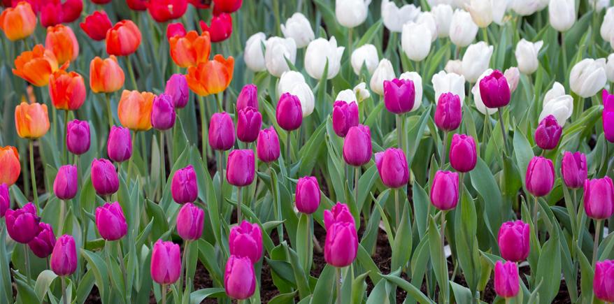 Il giardino dei tulipani – il luogo più felice di Milano